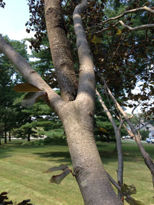 Tree Pruning by Peters Todd's